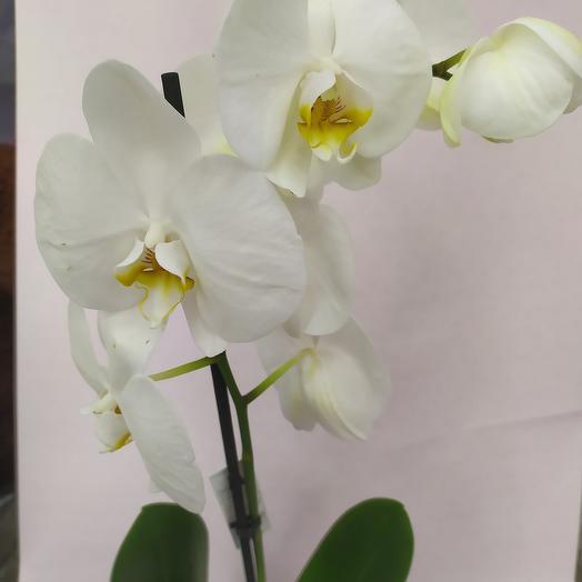 Комнатное растение ( Орхидея фаленопсис )