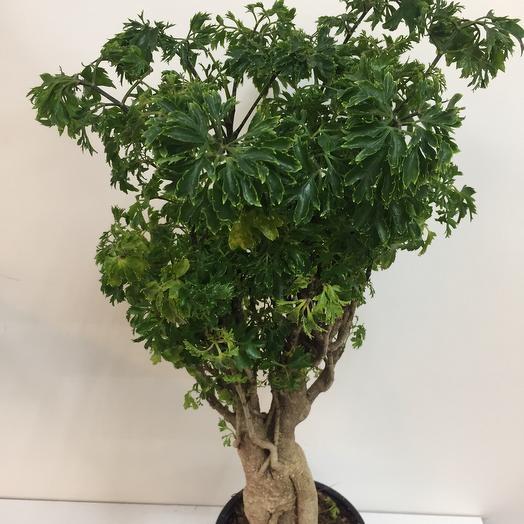 Комнатное растение бонсай