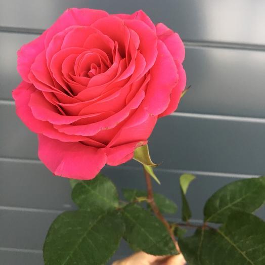 Роза (50см)