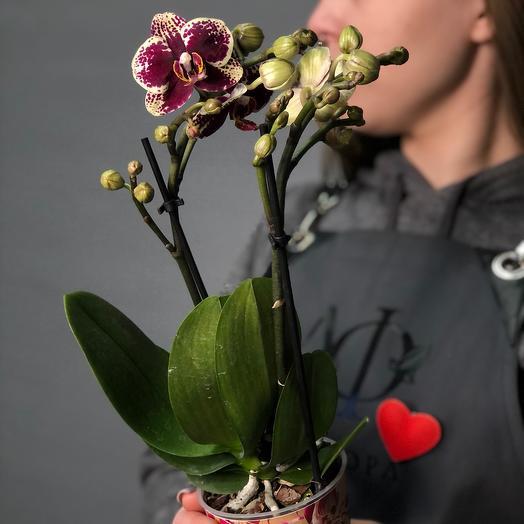 Комнатное растение Мини-фаленопсис Спейн
