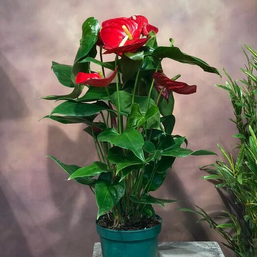 Комнатное растение Антуриум красный