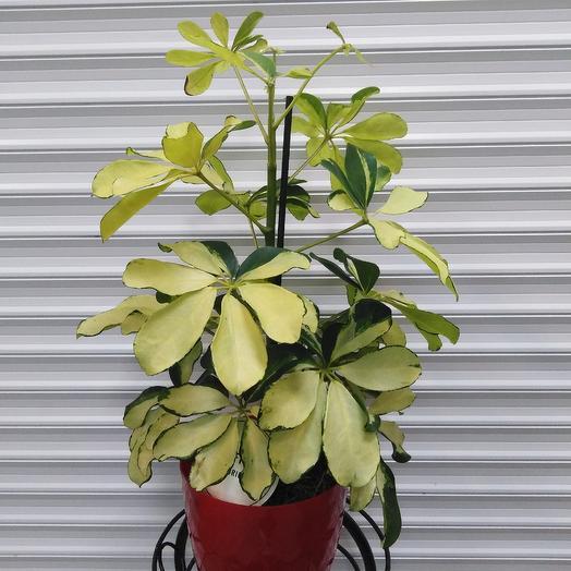 Шефлера Герда: букеты цветов на заказ Flowwow