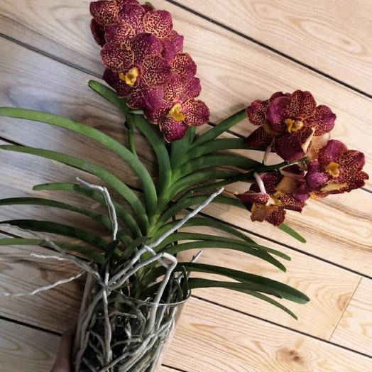 Орхидея Ванда h60 d14
