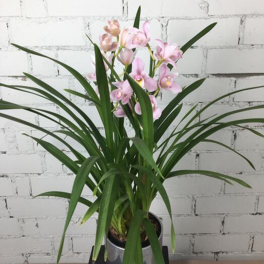 Орхидея Цимбидиум и кашпо керамика