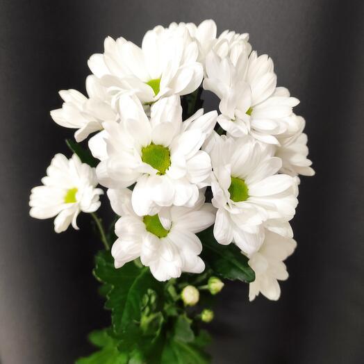 Кустовая хризантема белая - 1 веточка ( количество любое)