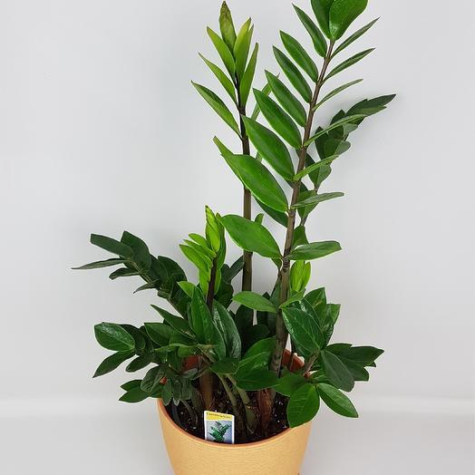 Замиакулькас (долларовое дерево): букеты цветов на заказ Flowwow