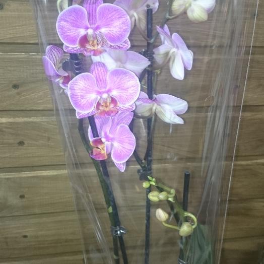 Орхидея фаленопсис 3ветки: букеты цветов на заказ Flowwow