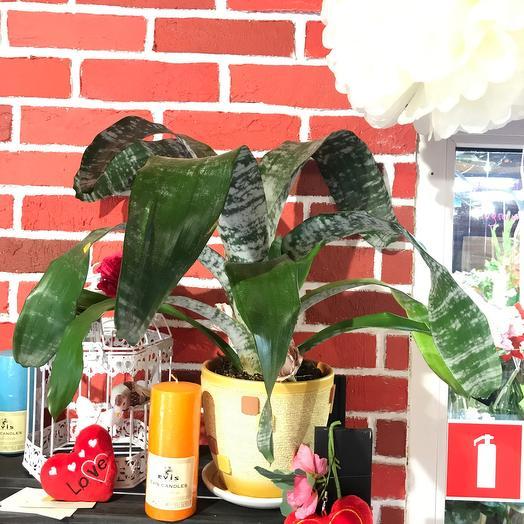 Комнатное растение Эхмея