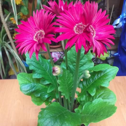 Комнатное растение гербера