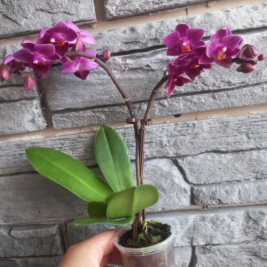Комнатное растение орхидея мини