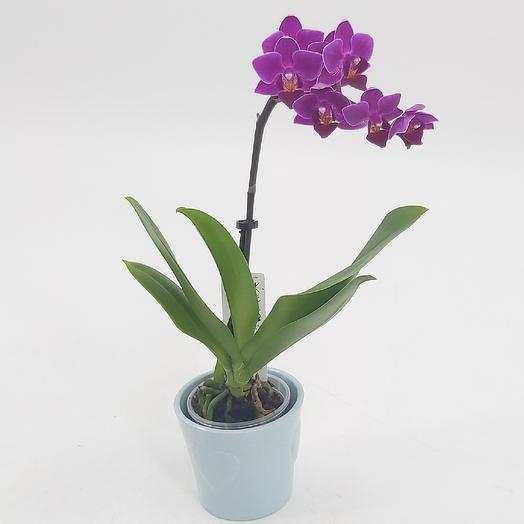 Мини орхидея в кашпо: букеты цветов на заказ Flowwow