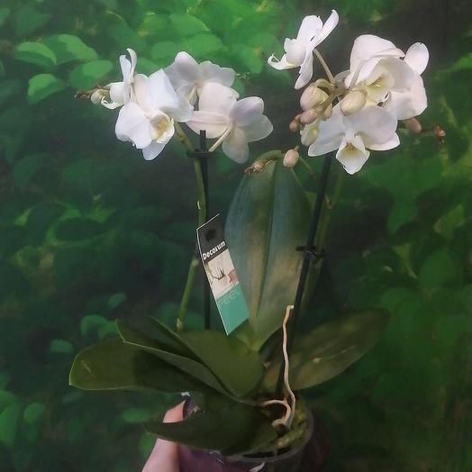 Орхидея мини: букеты цветов на заказ Flowwow