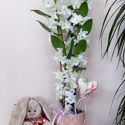 Орхидея «Дендробиум Нобиле»