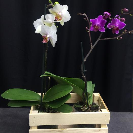 Набор две орхидеи в ящике