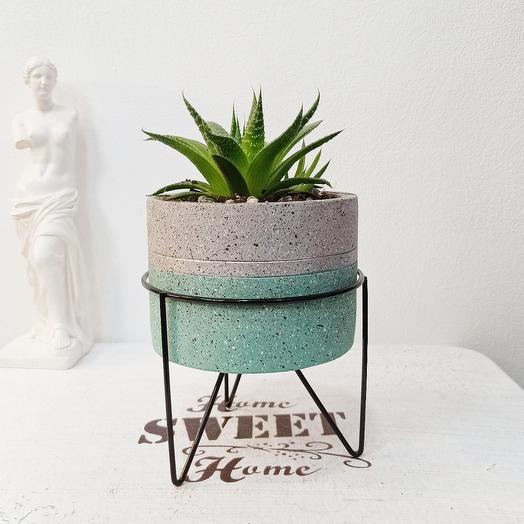 Суккулент в бетонном горшке