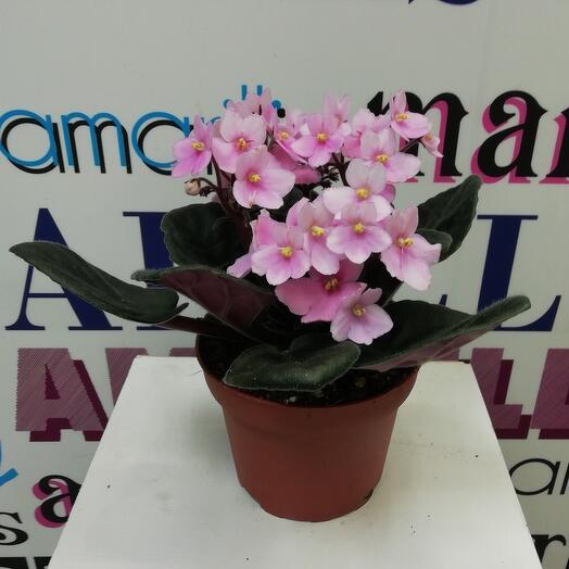 Комнатное растение Фиалка