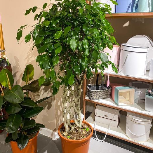 Комнатное растение Фикус экзотика спираль