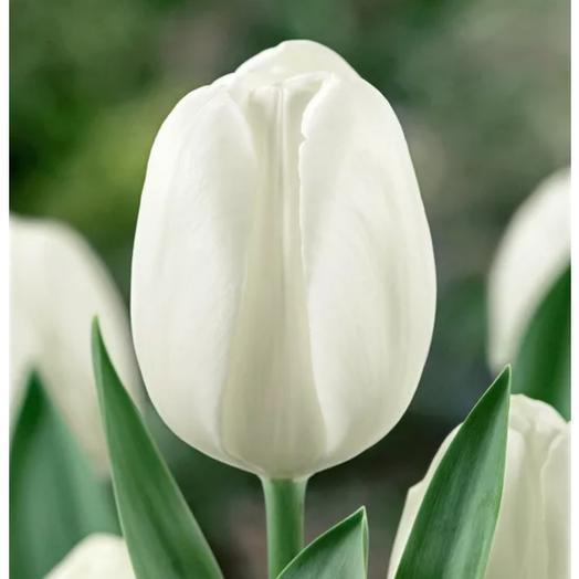 Тюльпан белый сторон леди