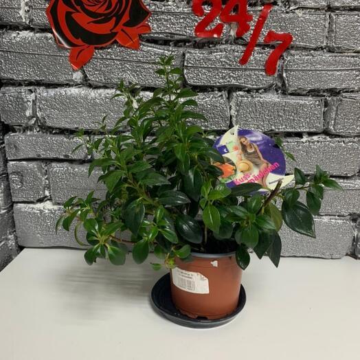 Комнатное растение нематантус