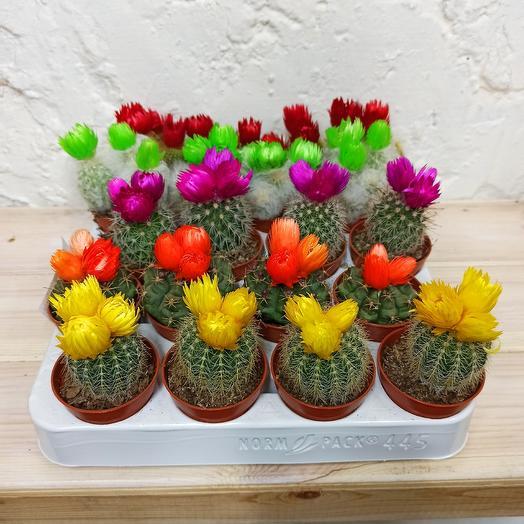 Суккуленты цветные: букеты цветов на заказ Flowwow