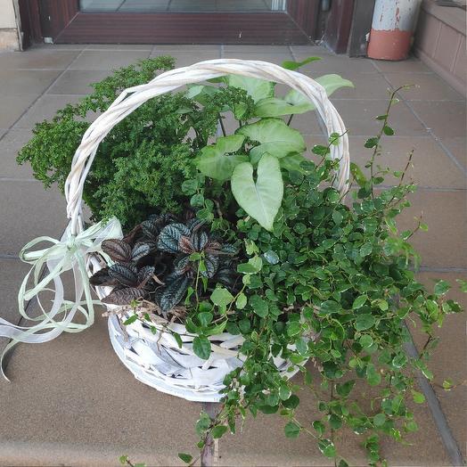 Подарочная,композиция с горшечными растениями: букеты цветов на заказ Flowwow