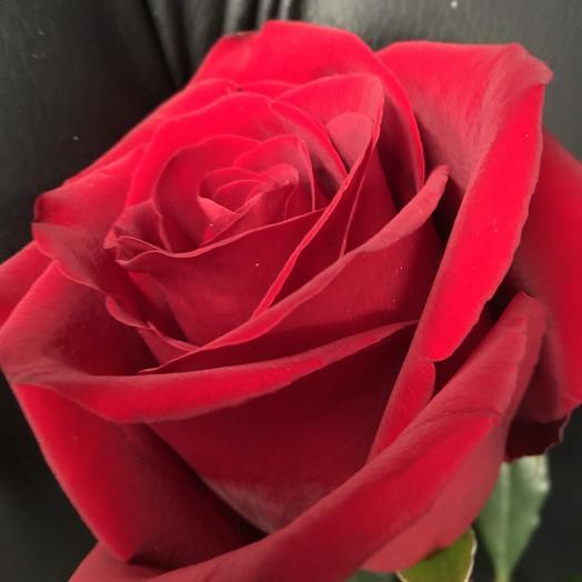 Роза Explorer 70 см