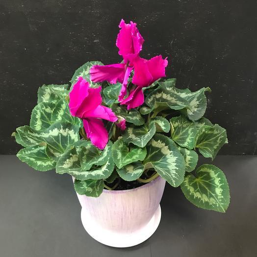 Комнатное растение «Цикламен малиновый»