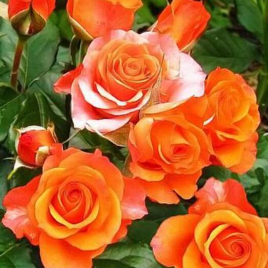 Роза оранжевая кустовая ветка, 50 см