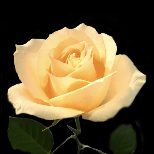 Роза Peach Avalanche 60 см