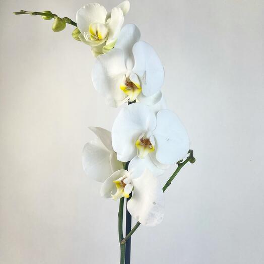 Орхидея белая 90 см