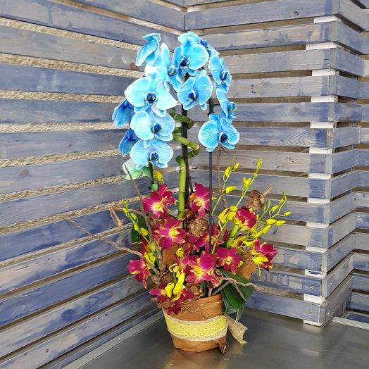 Небесный фаленопсис горшечный: букеты цветов на заказ Flowwow