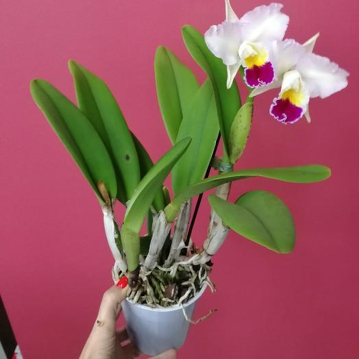 Орхидея Камбрия: букеты цветов на заказ Flowwow