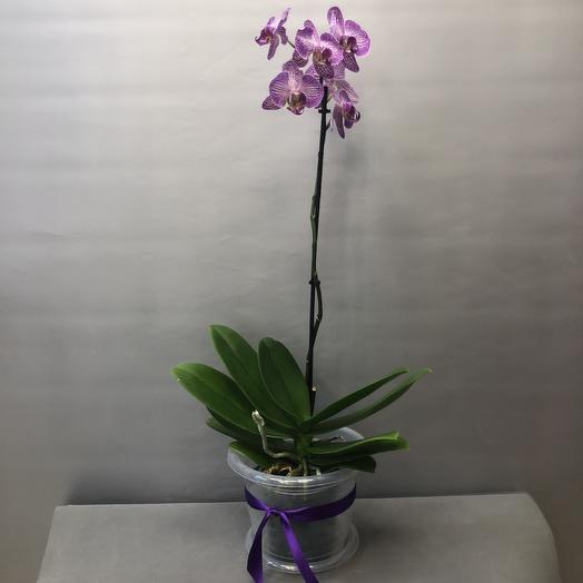 Фаленопсис с горшком: букеты цветов на заказ Flowwow