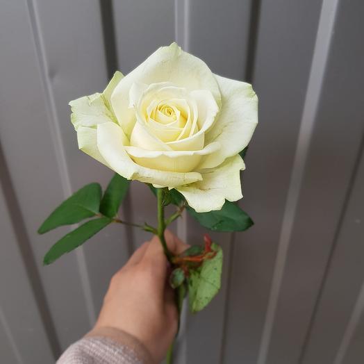 Роза-Аваланж