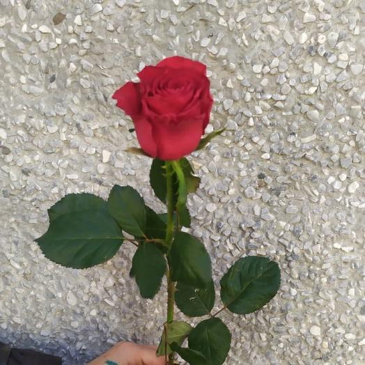 Роза калина