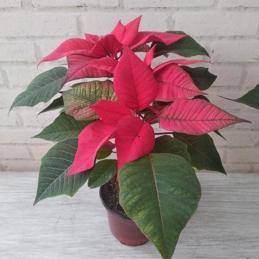 Комнатное растение пуансетия