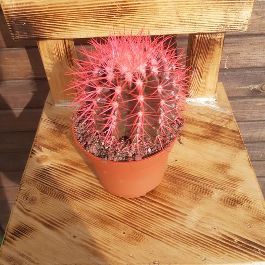 Розовый кактус