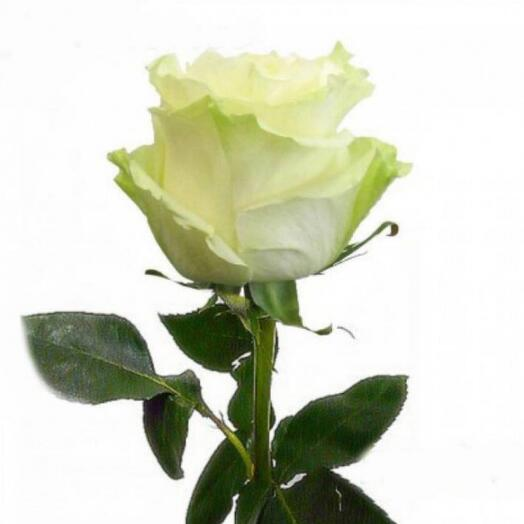 Роза Мондиал 70 см