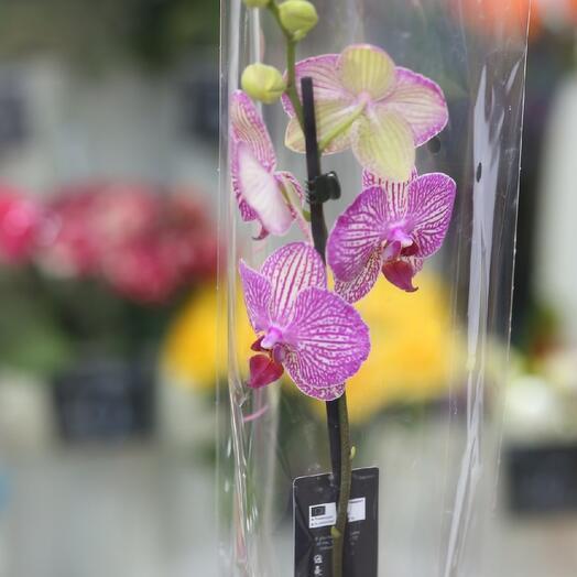 Орхидея, 1 цветонос