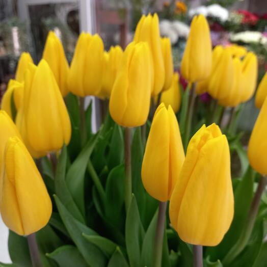 Тюльпан желтый 1шт