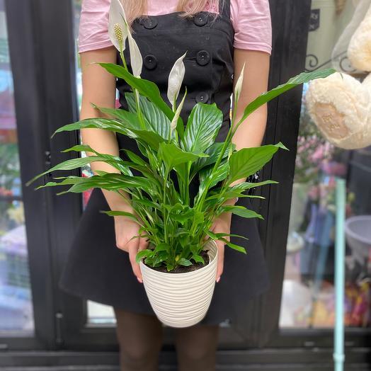 Спатифилум: букеты цветов на заказ Flowwow
