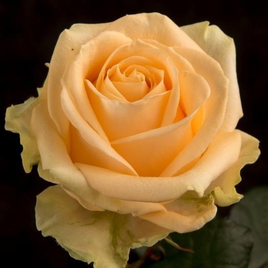 Кремовая роза (Россия) 50 см