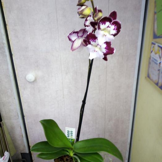 Орхидея фаленопсис Тинкербел Кисс