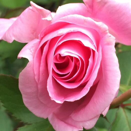 ✅ Роза розовая 1ветка (кол-во любое)