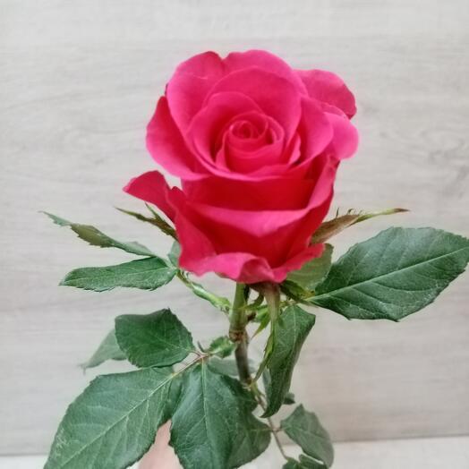 Роза Джаротта (Кения)