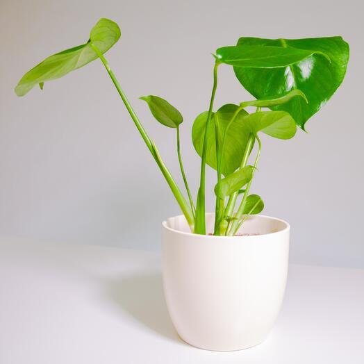 """Растение """"Монстера Деликатесная"""" пересаженное в Кремовый горшок"""