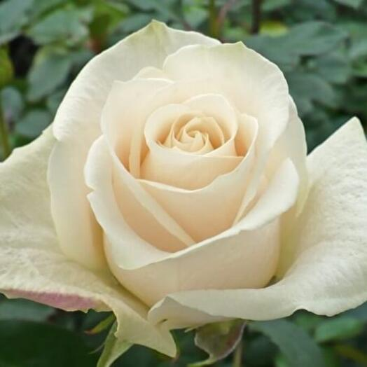 Роза Эквадорская Вендела 60 см