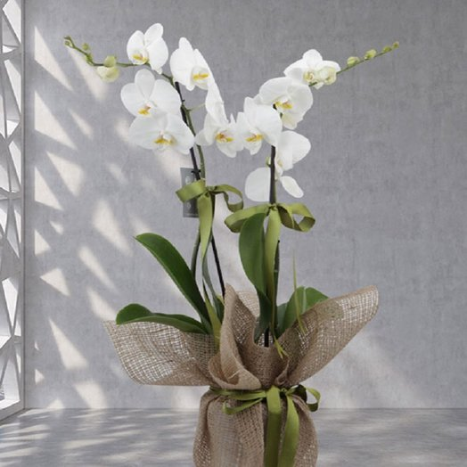 High Quality White Orchids