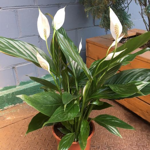 Спатифиллум ( Женское счастье ): букеты цветов на заказ Flowwow