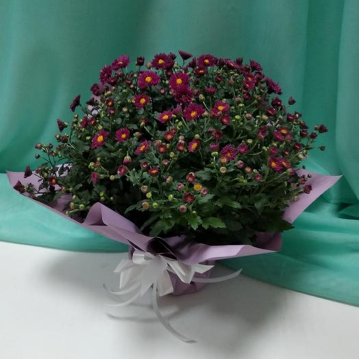 Хризантема в горшке: букеты цветов на заказ Flowwow